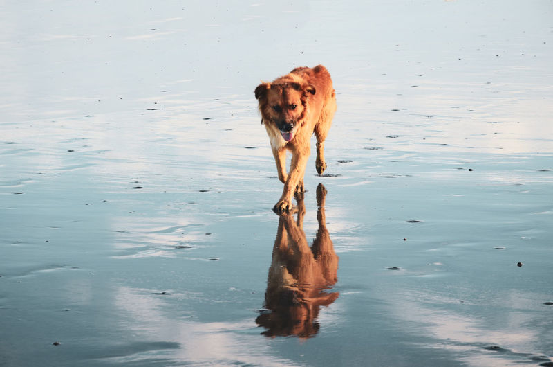 Felipe Dogs Dogs Of EyeEm Textured  Wet Sand Animal Animal Themes Blue Canine Contrast Dog Domestic Domestic Animals Land Nature No People One Animal Orange Color Pets Reflection Reflection Collection Sand Sandy Beach Walking Waterfront Wet