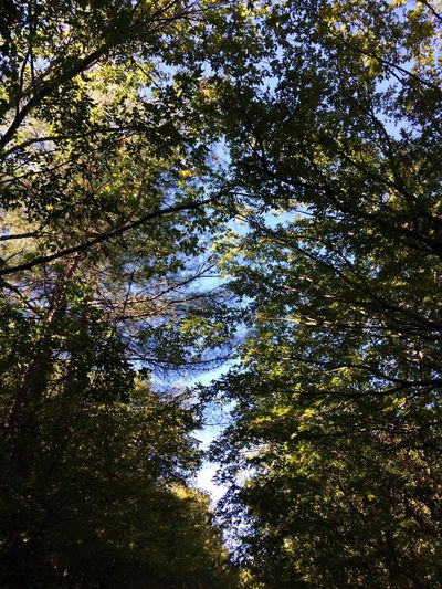 Tree Low Angle View Growth Forest Tall - High Scenics Tranquility Branch Tranquil Scene Beauty In Nature Nature WoodLand Green Day Sky Tall Outdoors Green Color Tree Canopy  Non-urban Scene