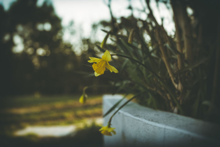 """""""Wounded Daffodil"""" Yellow Plant Flower Growth Flowering Plant Beauty In Nature Fragility Nature Vulnerability  Freshness Close-up Selective Focus No People Focus On Foreground Leaf Plant Part Petal Day Outdoors Flower Head Spring Daffodil Vulnerability  Withered  Backyard"""