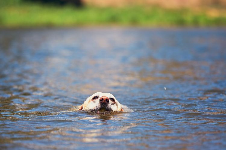 Dog carrying ball in mouth while walking in lake