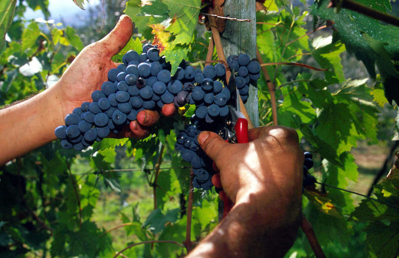Cropped hands of person cutting grapes at vineyard