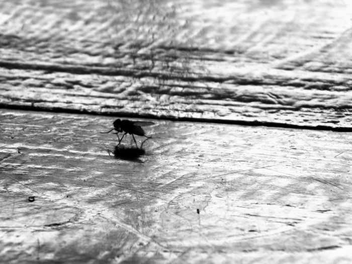 Fly on the floor Backgrounds Black And White Close-up Day Indoors  Insect Insect Theme Nature No People One Insect Table