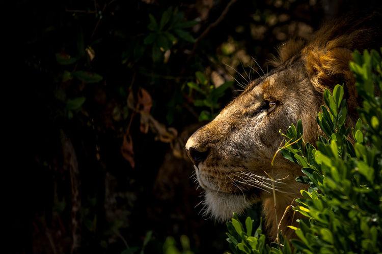 Lookout! A lion