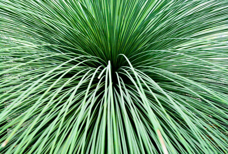 Toothless Sotol, Beargrass, dasylirion quadrangulatum, closeup abstract. Beargrass Toothless Sotol Abstract Backgrounds Close-up Closeup Dasylirion Quadrangulatum Day Freshness Frond Full Frame Green Color Indoors  Nature No People Pattern Studio Shot