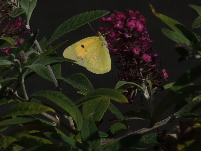 Nature Leaf No People Plant Beauty In Nature Growth Flower Night Outdoors Flower Head Freshness Close-up Colias Sp Colias Philodice Sulphur Butterfly