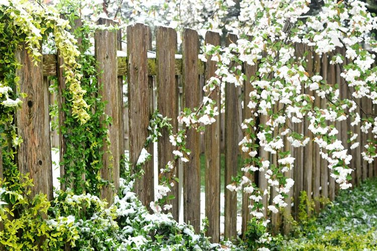 Nature Urban Spring Fever Fence Flowers Easter Ready Snow