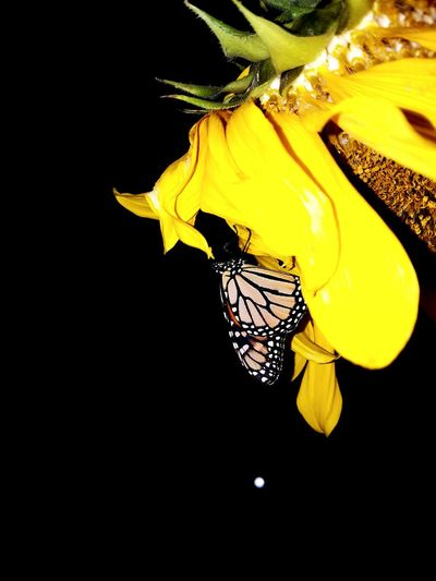 Yellow Black Background Nature No People Close-up Beauty In Nature Night Outdoors Beauty In Nature Monarch Butterfly Butterfly ❤ Sunflowers🌻 Insects Beautiful Nature Nighttime Photography Flower Head Natural Pattern