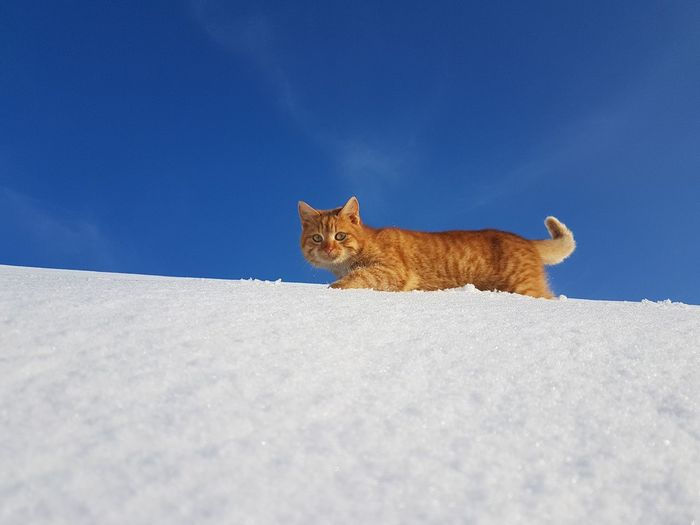 Portrait of cat on snow against blue sky