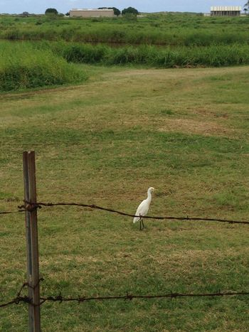 Bird Grass Kahuku Landscape Nature Oahu Outdoors Rural Scene
