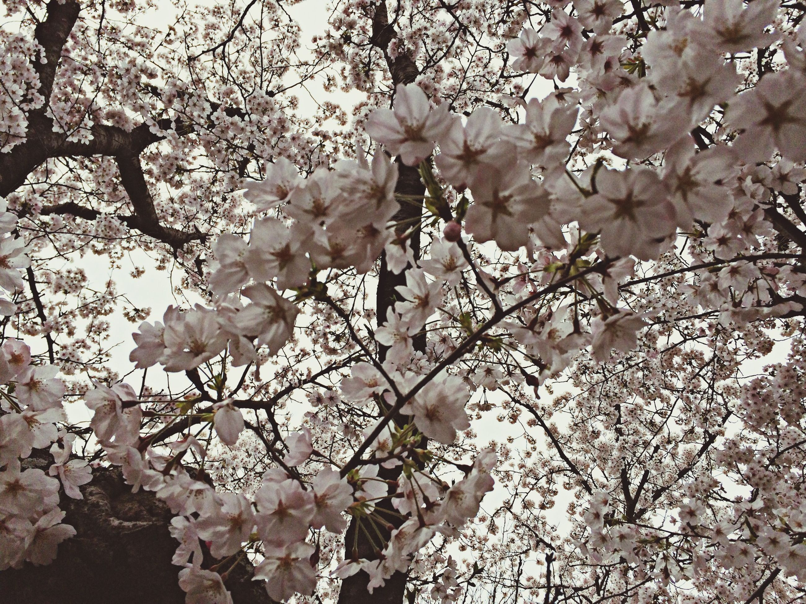 flower, branch, tree, freshness, growth, fragility, cherry blossom, blossom, beauty in nature, low angle view, nature, cherry tree, petal, white color, in bloom, springtime, blooming, fruit tree, twig, botany