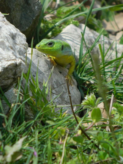 One Animal Reptile Lizard No People Day Nature Outdoors Green Color Close-up Beauty In Nature Animal Themes EyeEm Gallery EyeEm Nature Lover EyeEm