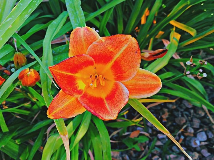 Ok, so not so great at this flower photography as far as having a feel fir the exposures! Lol! Passing the time w my son as we were waiting to be seated for a meal! Randomshot Flowers Flower Collection Spring Flowers Lilys Orange Close Up Trying Something New HDR