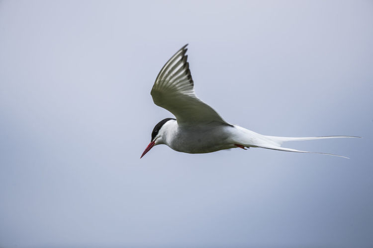 Low Angle View Of Arctic Tern Flying Against Sky