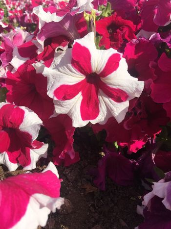 Flower Petal Fragility Red Beauty In Nature Nature No People Flower Head Freshness Day Close-up Growth Outdoors Petunia
