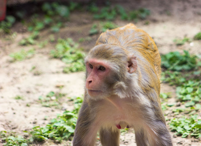 Close-up of monkey looking away on field
