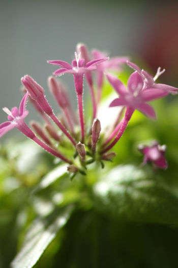 Beauty In Nature Close-up Flower Flower Head Flowerporn Macro Nature No People Pentas Pentas Lanceolata Pink Color Plant