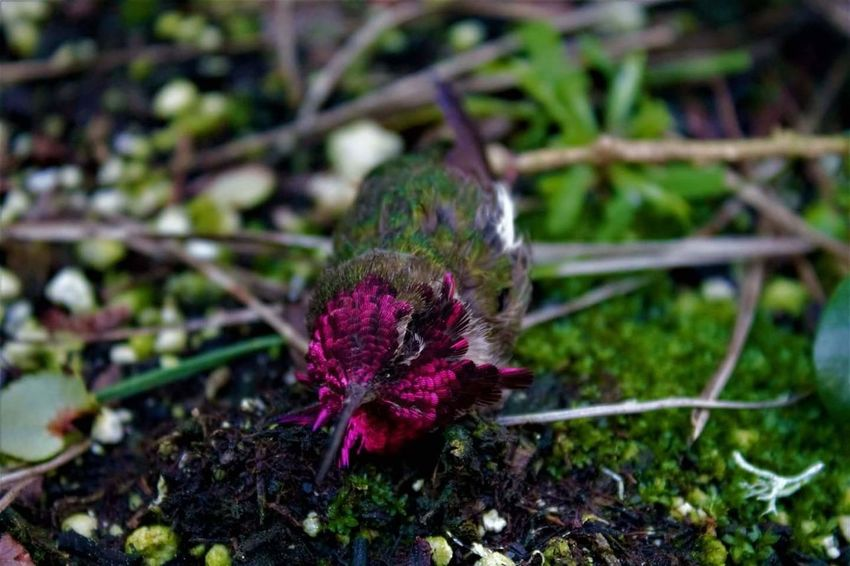 Flower Plant Nature Growth Beauty In Nature Close-up Freshness No People Fragility Pink Color Green Color Outdoors Wildflower Flower Head Day Grass Maroon Crocus Hummingbird