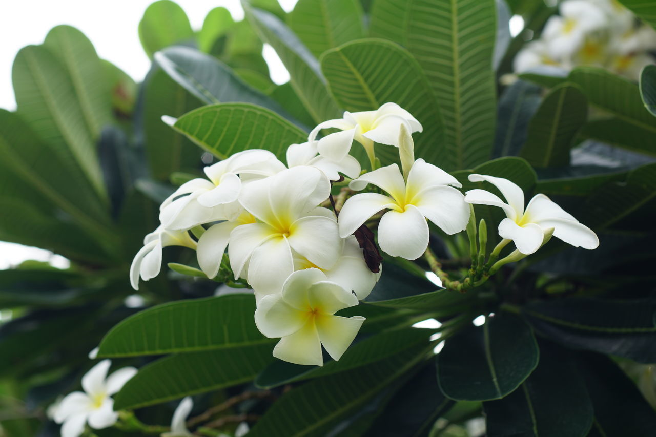 flower, petal, leaf, freshness, growth, beauty in nature, fragility, nature, flower head, white color, green color, day, plant, blooming, outdoors, no people, frangipani, close-up, periwinkle