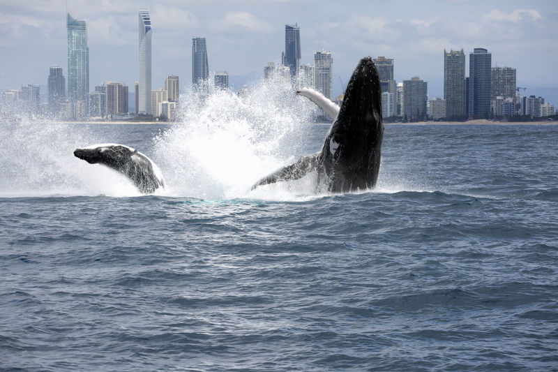Mother and baby breeching with view of Surfers Paradise Animal Themes Built Structure City Day Humpback Whale Mammal Modern Motion Nature No People Outdoors Sea Sky Skyscraper Urban Skyline Water Waterfront Whale