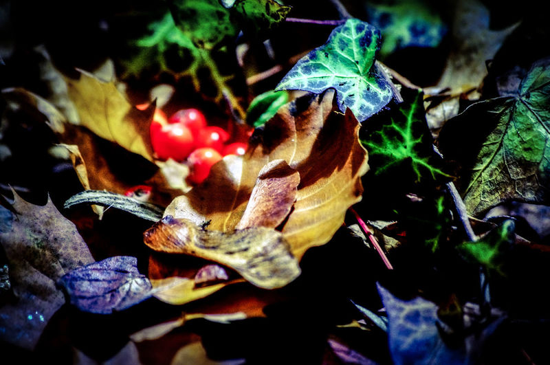 WoodLand Red Berries Ivy Leaves Autumnal Colours Herbstlich Beauty In Nature Autumnal Leaves Animal Themes Berries EyeEm Nature Lover EyeEm Best Shots Sycamore Seeds