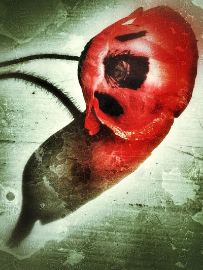Poppy Ladybird Poppy Red Old Weathered Day Flower Flowers Poppies  Red And Black Black Spots Poppy Flowers Poppy Distressed Grungy Grunge