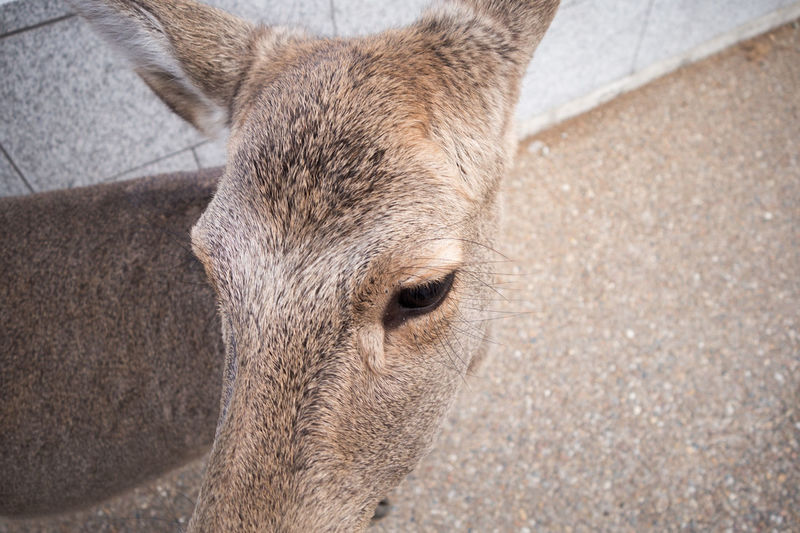 Deer Animal Eye Herbivorous Brown Nature Outdoors Animals In The Wild High Angle View Focus On Foreground Day Animal Wildlife No People Close-up Animal Body Part Mammal One Animal Hatamoto Shinichi Japan