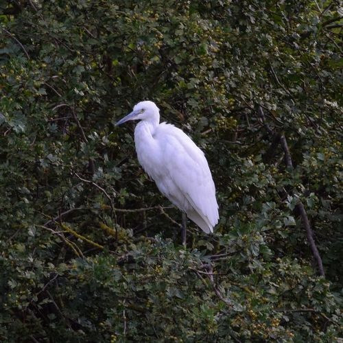 Little Egret resting Bird Day Nature Outdoors Perching Bush Lancing  Evening Wildlife Photography Water Lake Feathers Brooklands Lancing  Little Egret Heron Water Fowl White Leaves