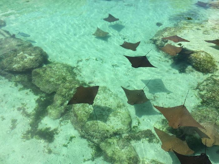 High Angle View Of Stingrays Swimming In Sea