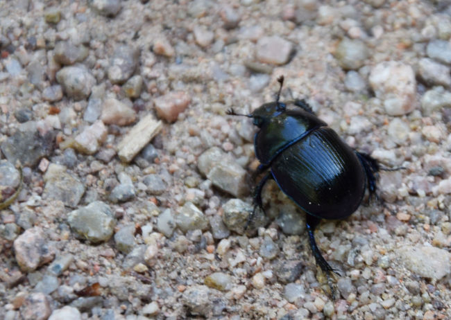 The black beetle Animal Animal Themes Beauty In Nature Beetle Close-up Focus On Foreground Insect Macro Nature Selective Focus Wildlife