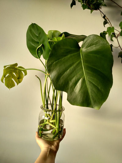 Monstera deliciosa cuttings rooting in water in glass jar, vertical orientation. Cutting Cuttings Rooting Seedling Seedlings Monstera Monstera Deliciosa Plant Greenery Houseplant Foliage Green Seedling