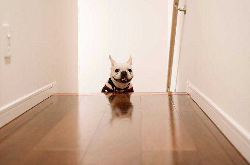 Portrait of french bulldog at home