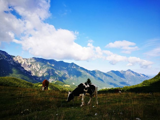Landscape Nature Stock Animals Mammal Trekking Highlands View Summertime Life In The Mountains Simple Moment Daylight Cloud - Sky Grass EyeEm Selects First Eyeem Photo Lost In The Landscape EyeEmNewHere Cows Mountains Piccole Dolomiti Malga Veneto Italy Healthy Lifestyle