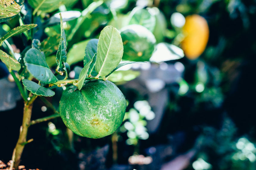 organic lemon plant Citrus  Copy Space Diet Gardening Natural Plant Antioxidant Backgrounds Beauty In Nature Close-up Focus On Foreground Food Food And Drink Freshness Fruit Green Color Growth Healthy Eating Ingredient Lemon Nature Organic Outdoors Sour Vitamin C The Week On EyeEm