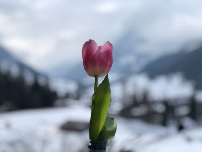 A pink tulip in the snow Dance Of The Tulip I❤️Gstaad EyeEmNewHere The Earth Smiles In Flowers Bolonie Style Bolonie Art Bolonie Pretty ın Pink Pretty In Pink Flower Fragility Beauty In Nature Nature Freshness Petal Growth Tulip Plant Flower Head Green Color Day Focus On Foreground No People Close-up Leaf Outdoors Blooming Sky