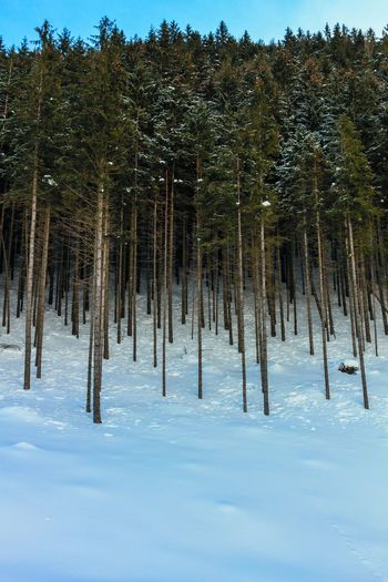 Tree Plant Growth Snow Winter Cold Temperature Nature Tranquility Land No People Tranquil Scene Forest Beauty In Nature Day Non-urban Scene Scenics - Nature Environment Sky Outdoors Pine Tree Coniferous Tree Pine Woodland
