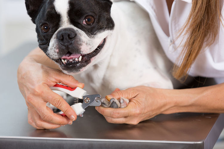 Midsection Of Female Veterinarian Cutting Nail Of Dog At Hospital