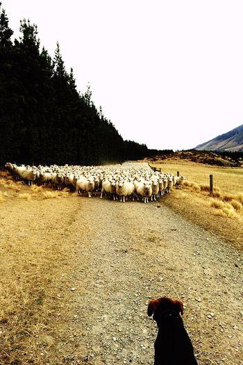 Sheepdog Sheep Sheeps Sheep@Work Sheepfarm Sheepsheep Sheeps. Little Sheeps Sheep Traffic Jam