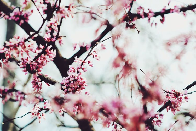 Tree Flower Branch Flower Head Springtime Pink Color Plum Blossom Backgrounds Blossom Twig Apple Blossom Cherry Blossom