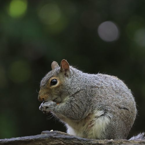 squirrel and