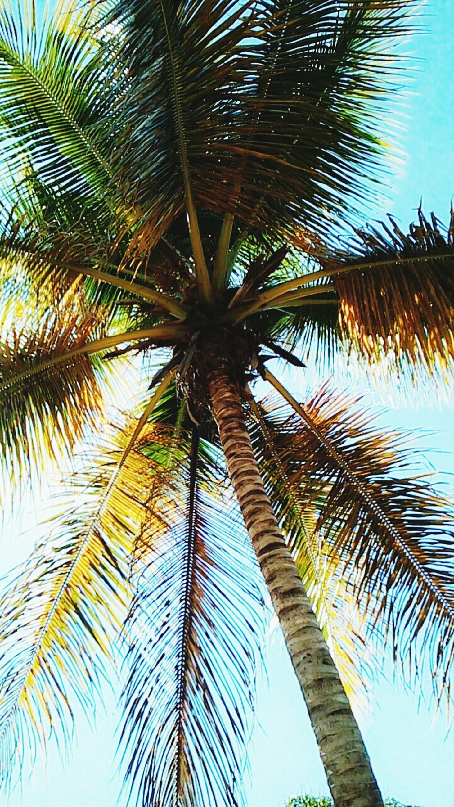 palm tree, tree, low angle view, sky, no people, growth, day, outdoors, nature, beauty in nature, palm frond