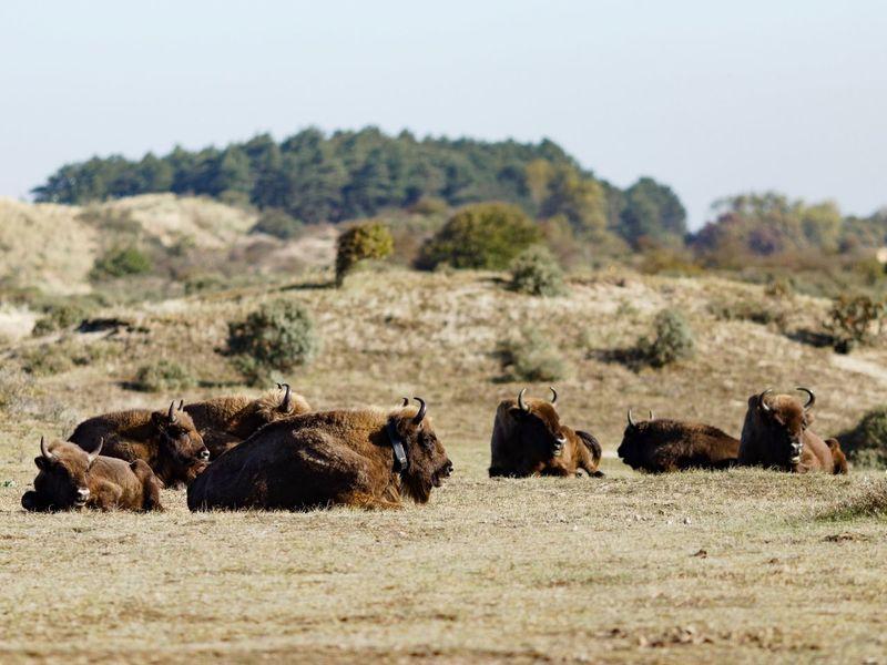 Wisent Dunes Of Holland European  Bison Animal Mammal Animal Themes Animals In The Wild Animal Wildlife Group Of Animals Day