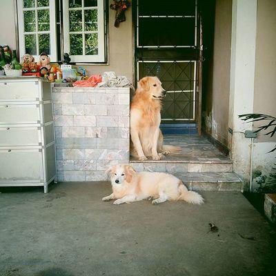 หล่อกันเหลือเกิม แหม๊ๆๆ Real hipster must not see camera. Dog Instadog Pet Pet13 Goldenretriever Hipster Lomography Diana VignetteApp