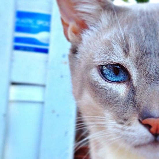Domestic Cat Pets Domestic Animals One Animal Mammal Portrait Animal Themes Feline Close-up Looking At Camera No People Day Indoors  Blueyes Snuggles Tiger Point Siamese Cat Pet Portraits