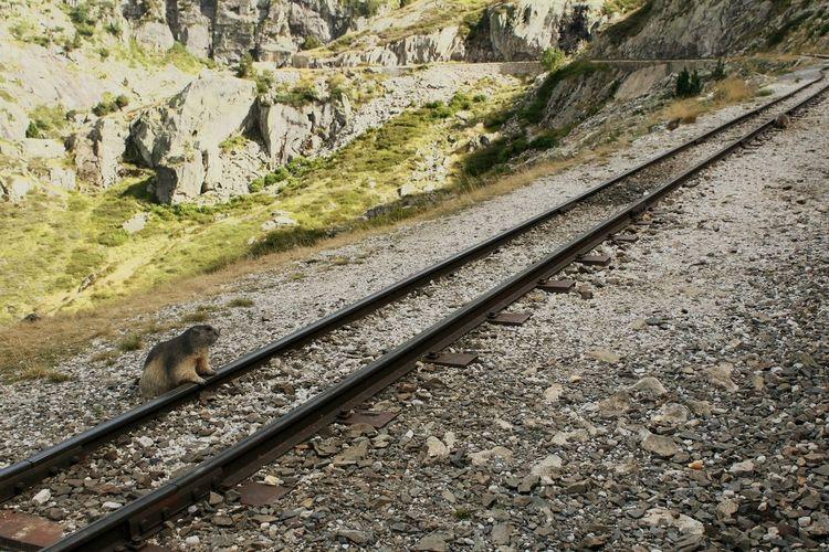Waiting the train Train Tracks HoundDog Pirineos Mountains Mountain Train Learn & Shoot: Leading Lines Leading Lines Leadinglines Animals In The Wild Animal