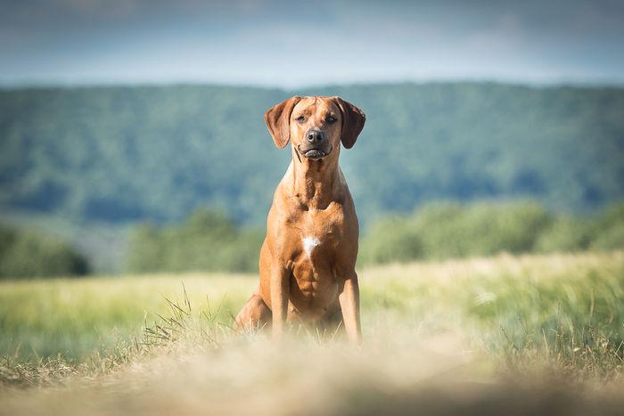 Ridgeback Ridgeback Rhodesian Ridgeback Mali Field EyeEm Selects Dog Pets Animal One Animal Grass Domestic Animals Outdoors Nature Summer