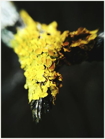 Close-up Yellow Nature No People Plant Outdoors Black Background Beauty In EyeEm Eyem Gallery Mobile Photography