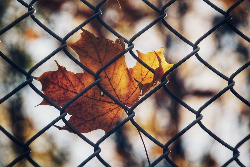 Autumn Collection Niklas Storm Okt 2018 Autumn Leaf Full Frame Protection Safety Metal Window Chainlink Fence Security Close-up Fall Fallen Maple Leaf Fallen Leaf Leaf Vein Dried