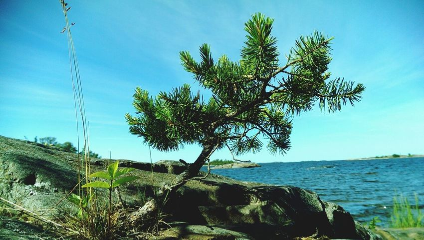 A natural bonsai. This tree is about 30 cm tall. Archipelago Plants Tree Sky