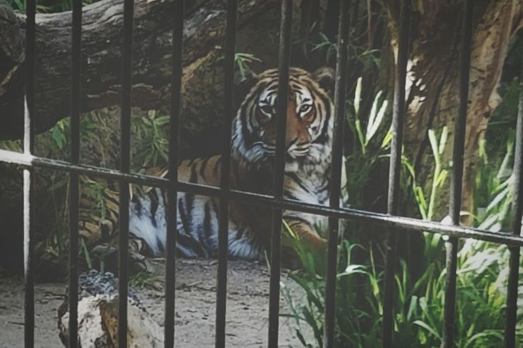 Natural Light PortraitNature's Diversities - 2016 EyeEm Awardslooking at you kid Beauty In Nature Animals In Captivity Tigers Eye Staring At Me Angles And Lines Tiger Behind Bars Held Captive From Where I'm Standing Man Eater Zoo Life Holding Back Shade Shadows & Light