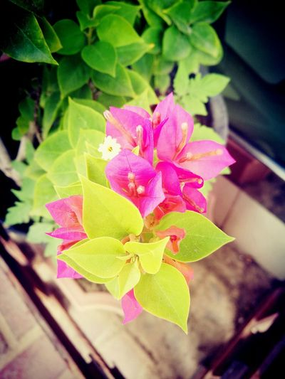 Leaf Flower Plant Pink Color Nature Beauty In Nature Petal Growth Fragility Freshness Outdoors Flower Head Close-up No People Day MyDubai ❤ TimepassPhotography Dubai❤ Huaweiphotography Huwei P9 HuaweiP9Photography HuaweiP9 Beauty In Nature